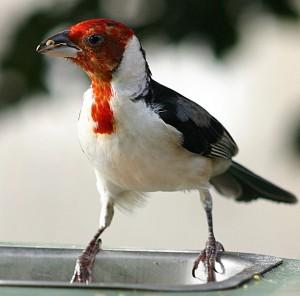 Deze dominicaner kardinaal - een zangvogel uit Brazilië - zal niet aan het conclaaf meedoen.